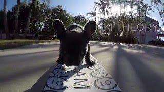 Skateboarding French Bulldog puppy