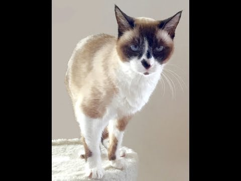 Very Cute Snowshoe Cat Sings on Her 19th Birthday