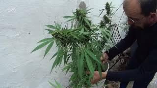 Cannabis Uruguay - Ojo con la Botrytis