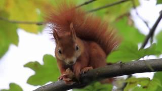Cute Red Squirrel eats a nut (walnut) thumbnail