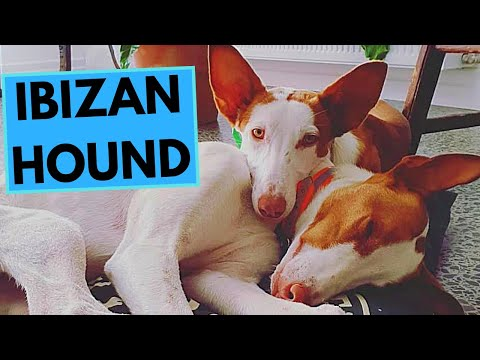 Ibizan Hound  TOP 10 Interesting Facts