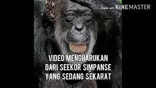 Mengharukan simpanse sekarat,ini reaksi saat bertemu sahabat nya
