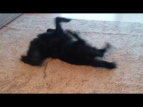 Flat coated Retriever Paula genießt den neuen Teppich