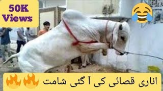 Funny Cow Compilation | Dangerous Bull | Crazy Butcher | Anari Qasai | Angry Cow | Angry Camel 2020