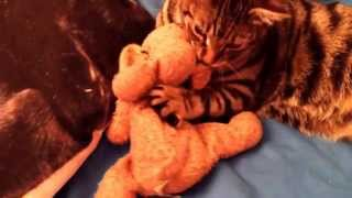 Tigger the Bengal and his cuddle dog xxx