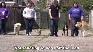 Junior - Boxer - On Lead Aggression - 2 Week Dog Boot Camp At Adolescent Dogs Uk