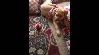 My Dogue De Bordeaux Learned To Bark From The Buic