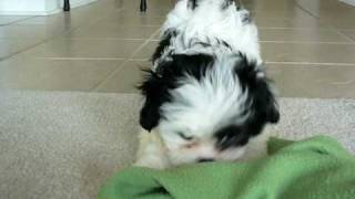 Mini Maltzus - Little Maltese X Shih Tzu Puppy
