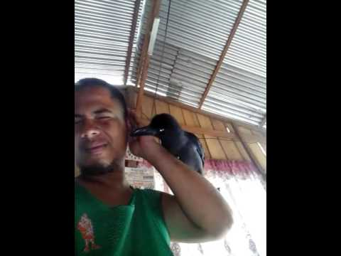Philippine Crow - Owak