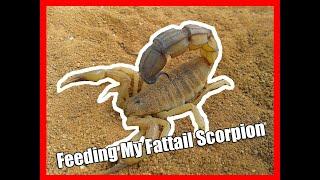 видео Скорпион Androctonus amoreuxi