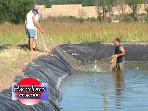 Criadero de peces pezcampero youtube for Cria de tilapia en estanques plasticos