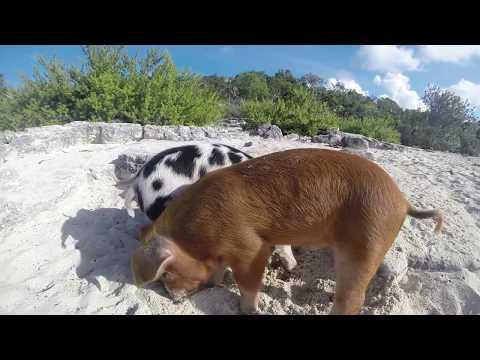 Swimming Pigs Bahamas 2015