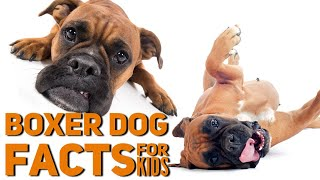 Facts About the Boxer Dog Breed | Boxer Information for Kids