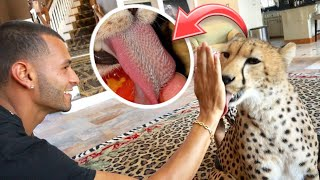 how-sharp-is-a-cheetahs-tongue-we-brought-him-in-the-house