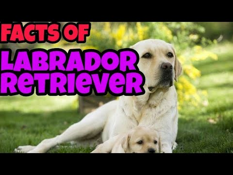 "Facts of Labrador retriever,,, must watch ,,, by lovely pets  "" Facts about Dogs """