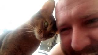 Любовь кота абиссинца к хозяину