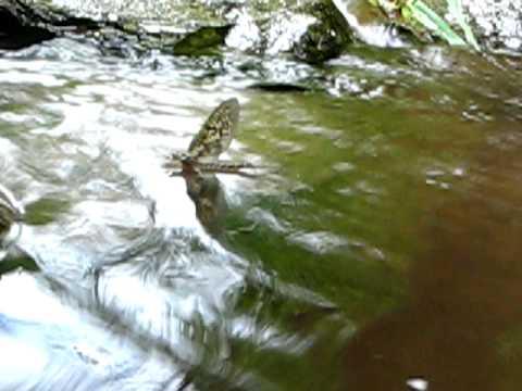Green Drake Closeup  - Jeff Wilkins Fly Fishing