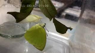 淡黃蝶幼蟲系列三之三。終章.