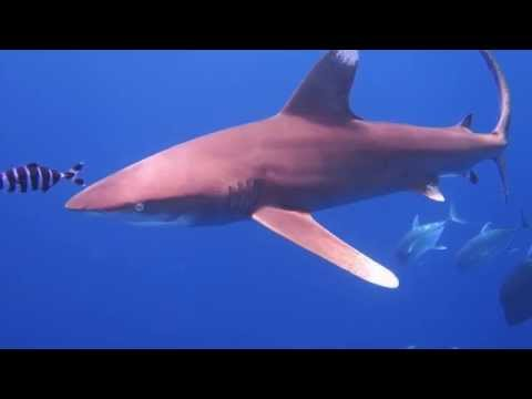 Close encounter with oceanic shark diving in the red sea