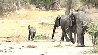 Naughty Baby Elephant is Disciplined by Entire Herd!
