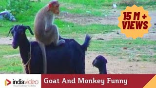 Goat And Monkey Funny Video | India Video