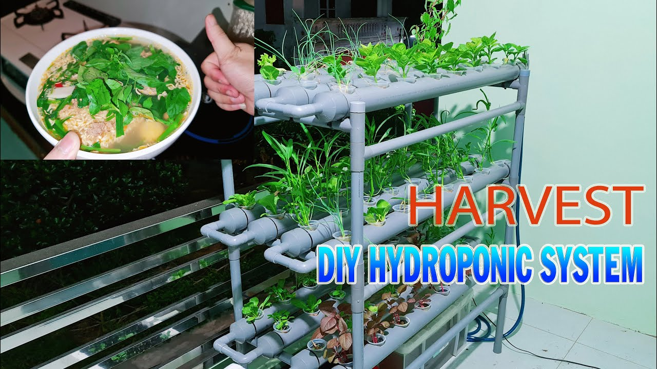 Harvest DIY Hydroponic System using PVC Pipe after 11 days