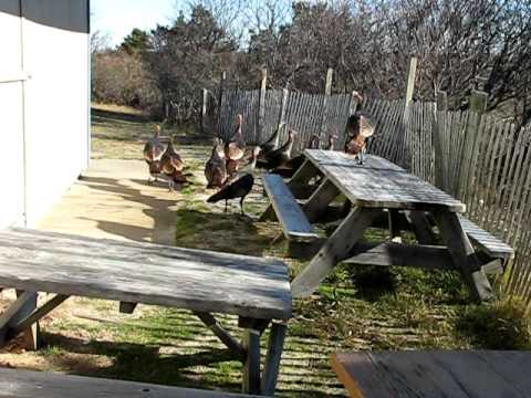 Wild turkeys fly!