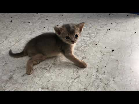 Abyssinian cat(Blue) - 4weeks old