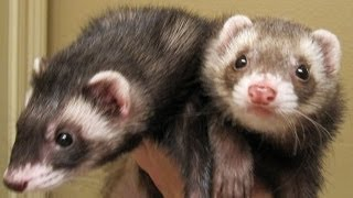 Cute Funny Ferrets Compilation 2014 [NEW]