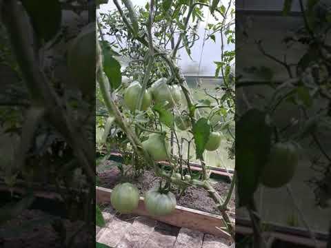 Супер урожайные томаты Мазарини