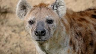 13 Hyena Facts