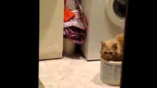 видео Как жирный кот выбирал себе хозяина