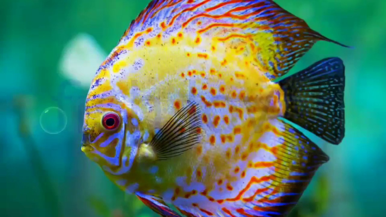 Top discus fish youtube for Keeping discus fish