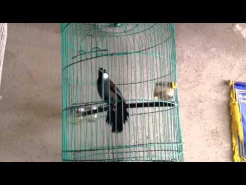 Chim khiếu hót múa (Đã bán)