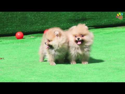 Pomeranian yavrumuz Tango