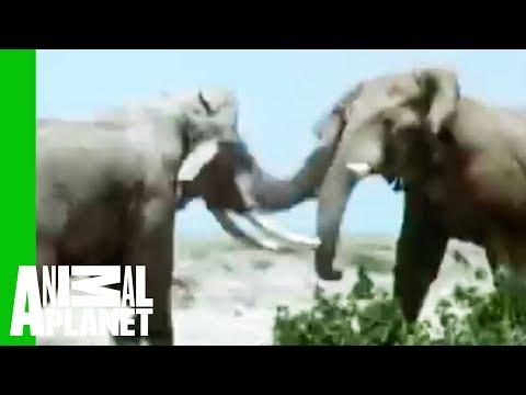 Animal Face-Off: Elephant vs. Rhino