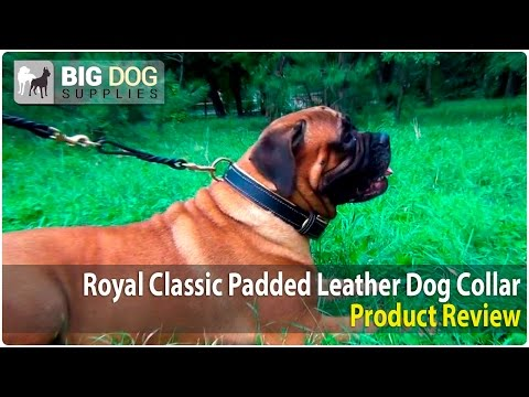 Bullmastiff, Dogue de Bordeaux and Other Dogs Wearing Royal Design Leather Collar