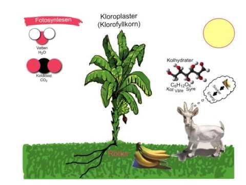fotosyntesen