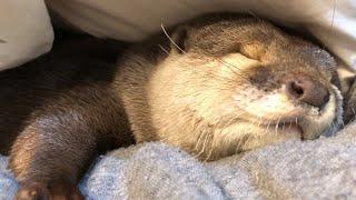 カワウソさくら 布団に潜って寝る直前! Otters just before going to bed thumbnail
