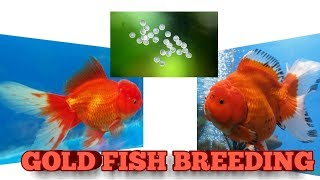 GOLDFISH BREEDING EASYLY