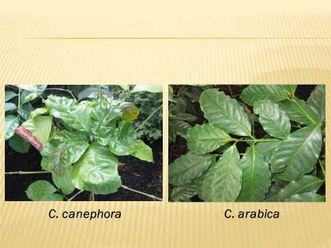 The Genetics and Geography of Taste: A Story of Coffee