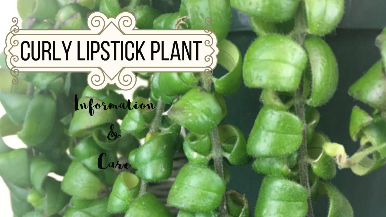Curly Lipstick Plant Information Care Youtube
