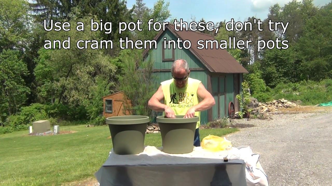 How To Plant Elephant Ear Bulbs Youtube
