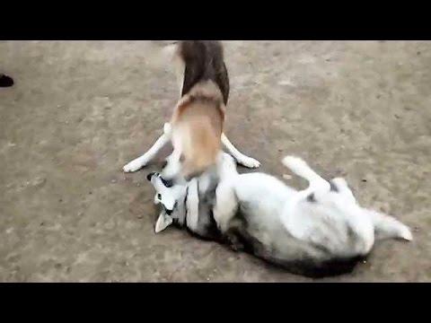 Wolf dog vs Alaskan Malamute - YouTube