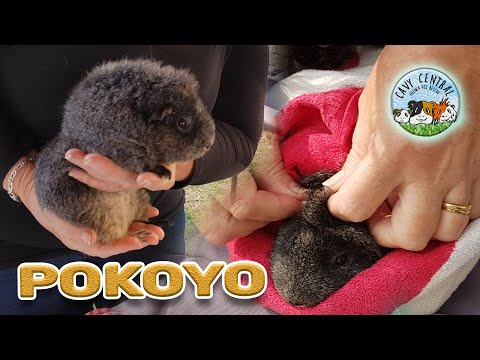 Pokoyo Mites And Other Guinea Pig Rescue Flaky Skin Problems