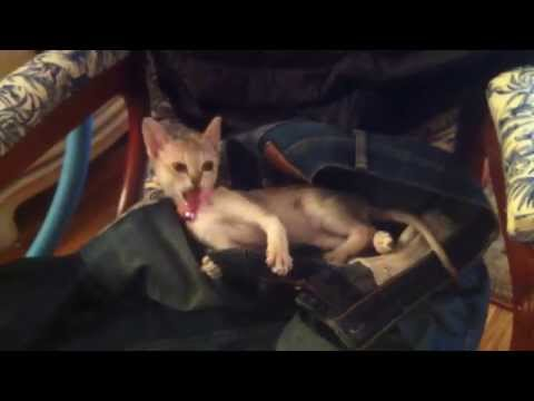 Lily Singapura Kitten 1.3 lbs - Eating My Jeans! Pt. 2 (Smallest Cat Breed in the World)
