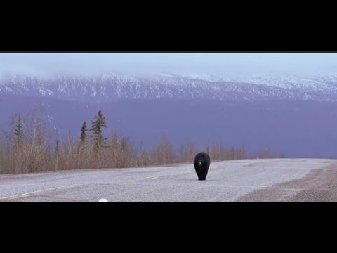 Bear Smarts In Grande Cache - Season Three