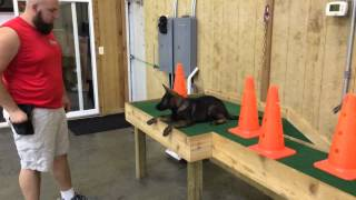 """Dark Sable German Shepherd """"cricket"""" Obedience & Protection Trained For Sale"""