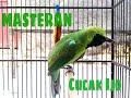 Dijamin Gacor Masteran Cucak Ijo  Mp3 - Mp4 Download