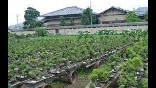 Perkebunan Bonsai ( Bonsai Gardens )